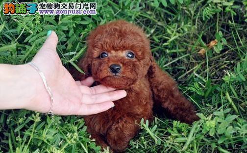 繁殖精品泰迪犬可视频挑选 质量保证 可签订