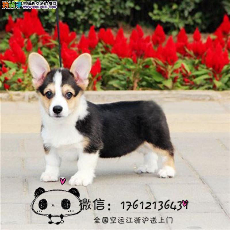 长期繁殖出售小短腿三通柯基幼犬 柯基犬 包养活签协议