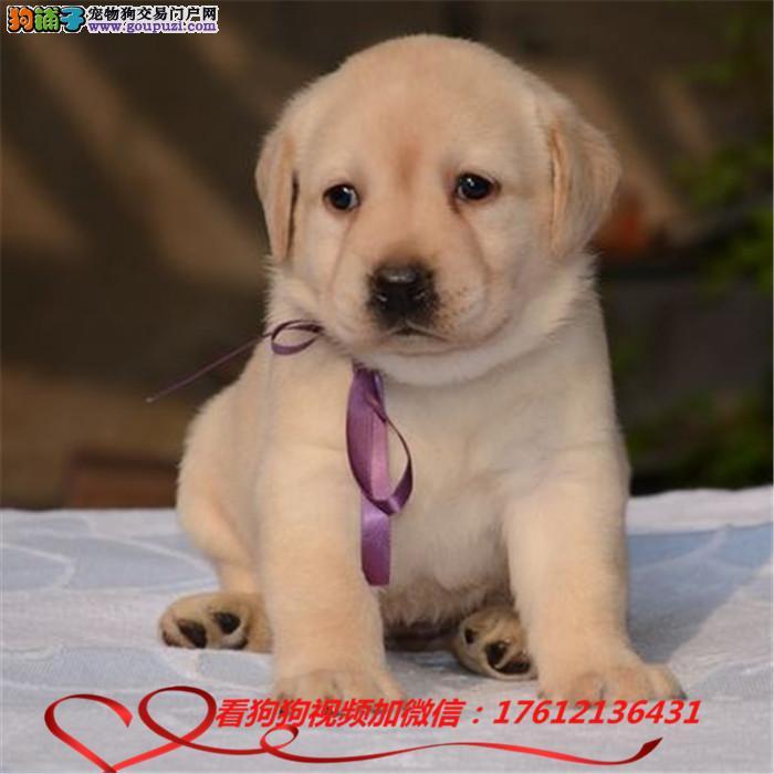 自家繁殖拉布拉多幼犬待售 可签订纯正活体协议
