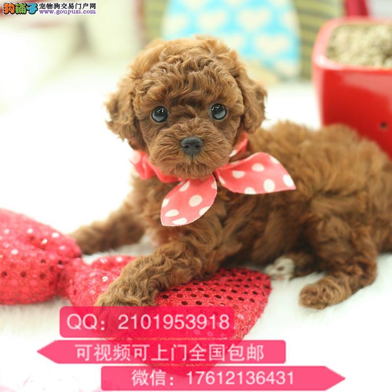自家繁殖可爱玩具体泰迪幼犬 包养活签协议