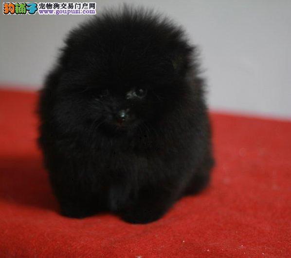 精品萌宠哈多利博美幼犬、小体型、纯种健康