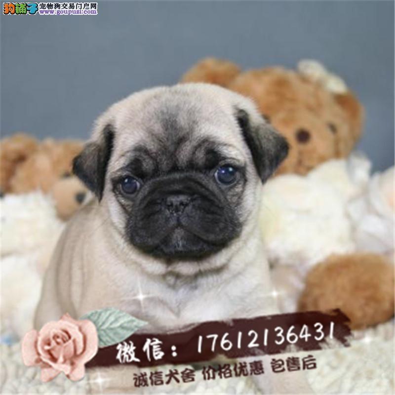 长期繁殖纯萌萌哒巴哥犬 各类纯种名犬 包养活签协议