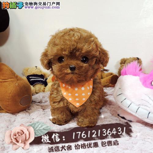 自家繁殖出售精品泰迪犬幼犬 驱虫疫苗全可签订协议