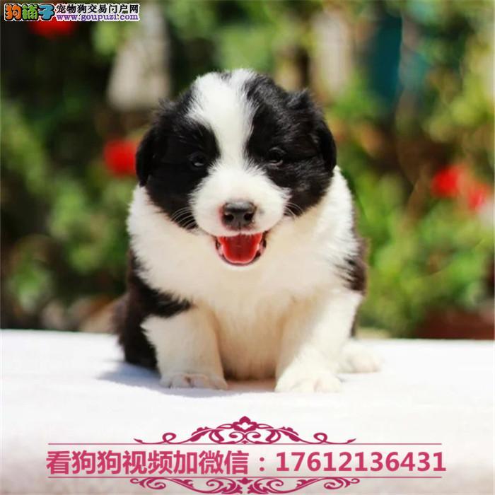 出售边境牧羊犬幼犬 纯种边牧犬舍出售精品边牧幼犬