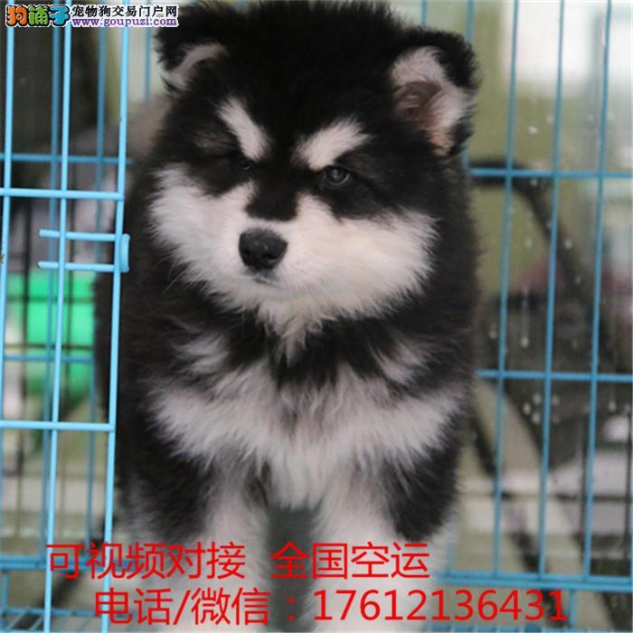 长期繁殖桃脸十字脸纯种阿拉斯加幼犬包养活签协议