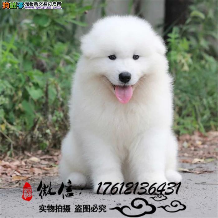 精品萨摩耶幼犬 纯种萨摩耶宝宝 包纯种健康 签协议