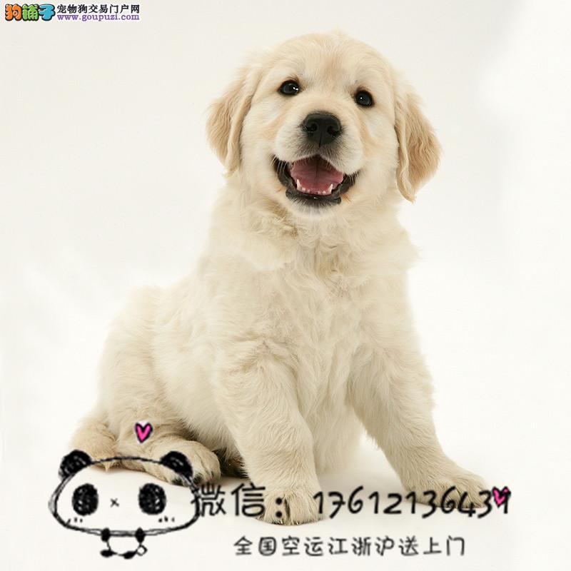长期繁殖双血统精品金毛幼犬 导盲犬包养活签协议