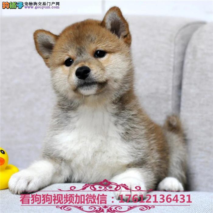 上海柴犬犬舍出售顶级日系纯种柴犬幼犬 保证纯种健康