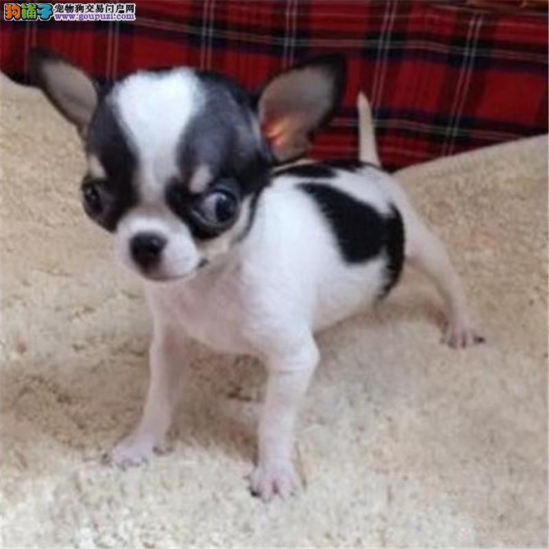 上海哪里出售纯种吉娃娃幼犬 黑白花吉娃娃多少钱一只