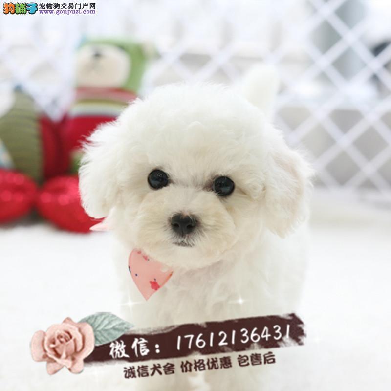 出售高品质精品卷毛比熊 幼犬狗狗 包纯种健康