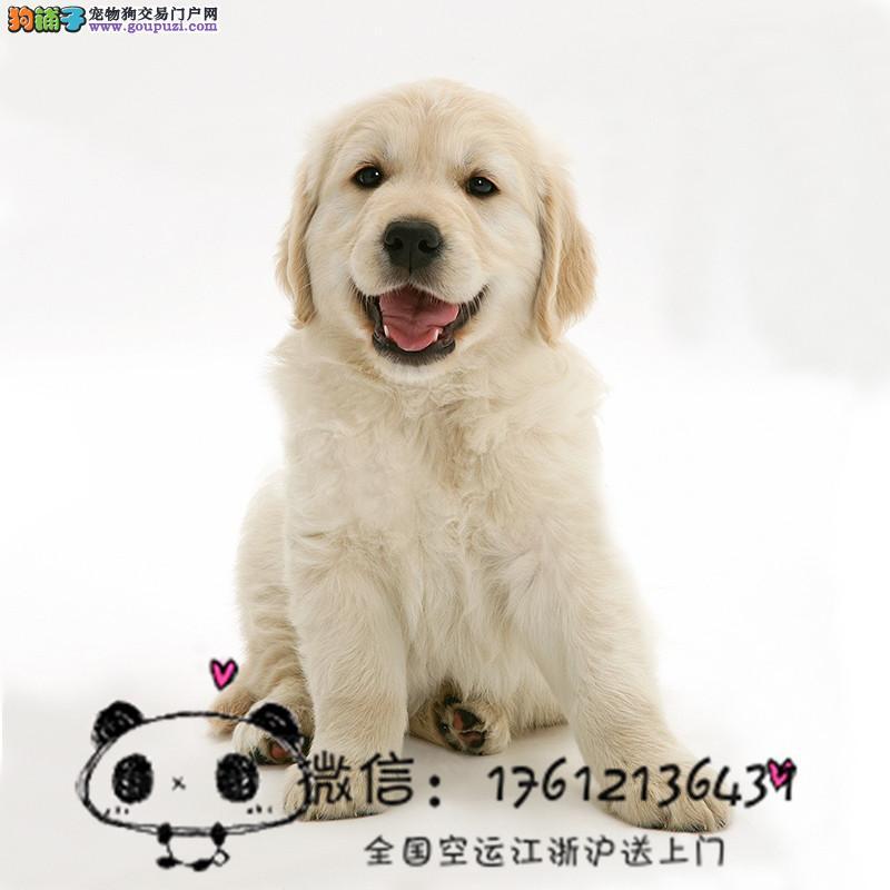上海犬舍出售金毛幼犬领导者,大头宽嘴大毛量大骨架