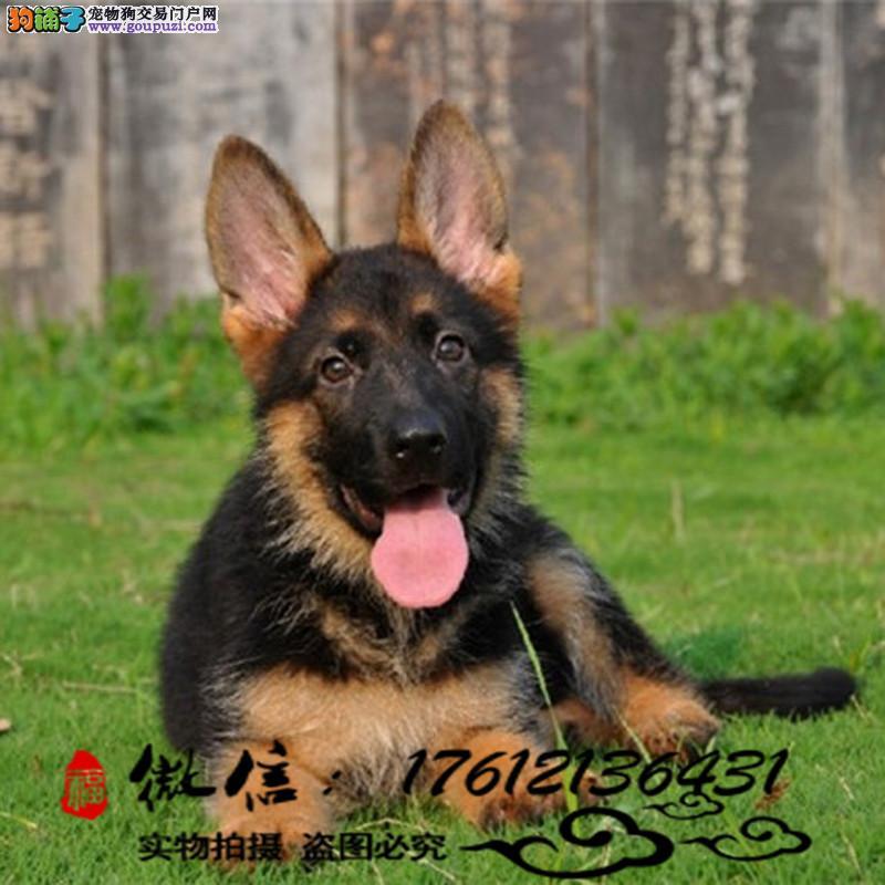 长期繁殖精品德国牧羊犬 德国黑背 狼狗包养活签协议