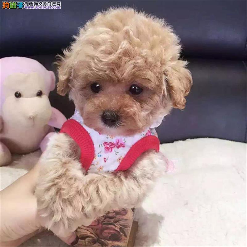 上海贵宾犬舍 泰迪贵宾价格 贵宾图片 贵宾犬多少钱