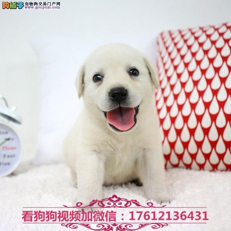 长期繁殖拉布拉多导盲犬 各类纯种名犬 包养活签协议