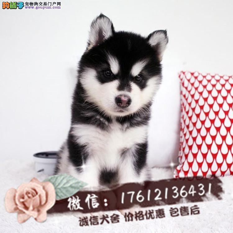 长期繁殖桃脸十字脸阿拉 阿拉斯加犬 包养活签协议