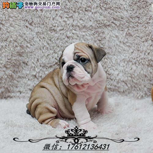 上海英国斗牛犬繁育专家出售顶级英牛犬 英斗幼犬