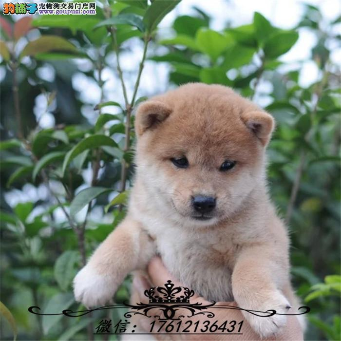 精品日本柴犬幼犬 品相好 血统纯 看父母 价可面议