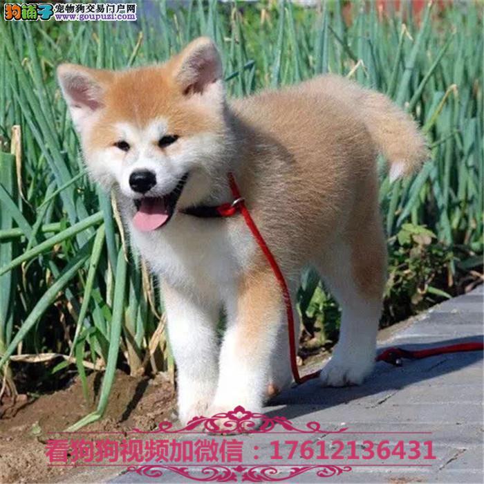 聪明,忠诚的秋田犬幼犬 疫苗齐全哪里有秋田多少钱