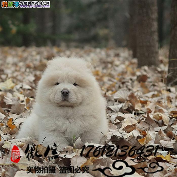 长期繁殖肉嘴紫舌松狮犬 各类纯种名犬 包养活签协议