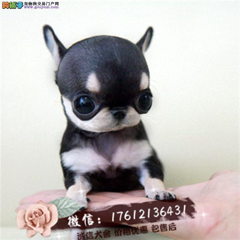 养殖基地出售苹果头大眼睛茶杯体吉娃娃幼犬包纯种