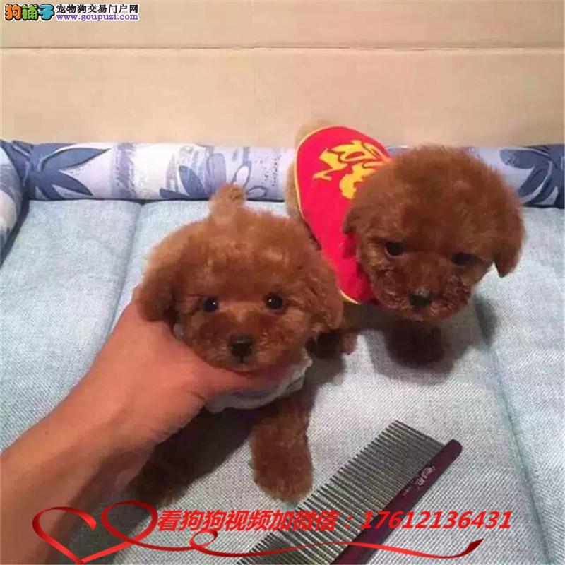 茶杯犬犬舍出售顶级韩版小体茶杯犬茶杯泰迪博美