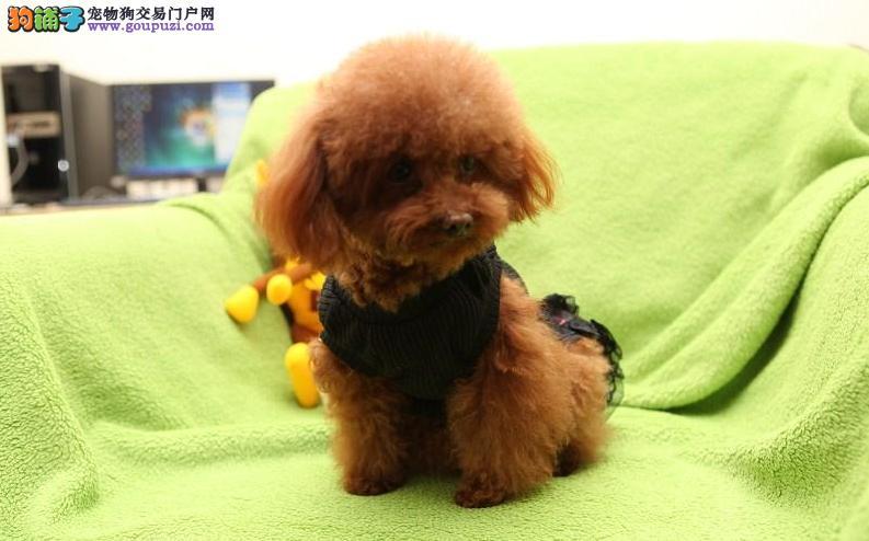 纯种泰迪幼犬狗狗 迷你型玩具型泰迪狗狗 可上门挑选