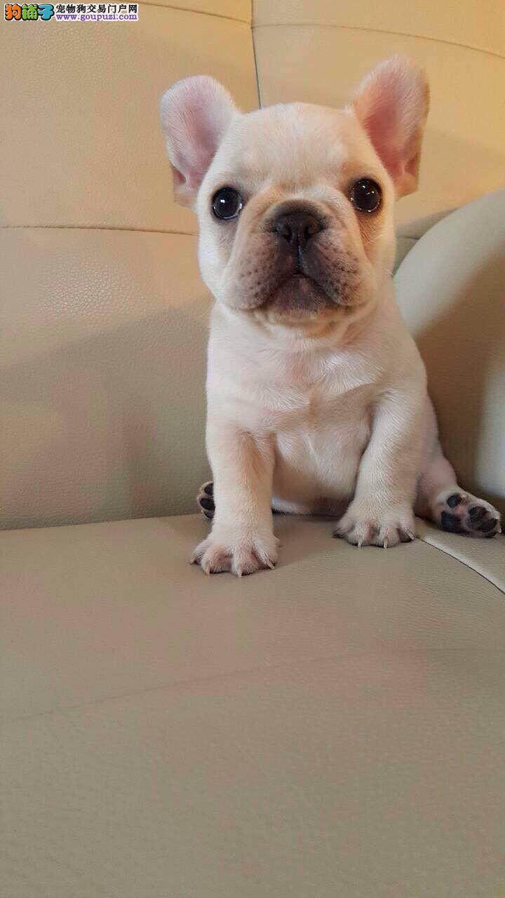 专业繁殖犬舍出售纯种法牛赛级法国斗牛犬疫苗证书齐全