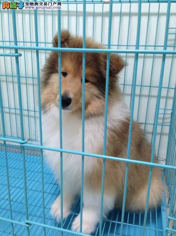 出售精品苏格兰牧羊犬/包纯种·保健康·包养活/可送货
