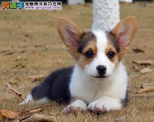 纯种柯基犬,正规犬舍繁殖,疫苗齐全,健康保障 包纯种