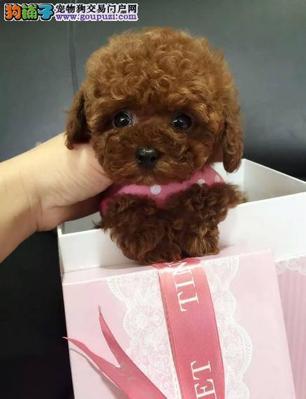 出售玩具体、迷你体泰迪犬、自家繁殖包健康纯种签协议