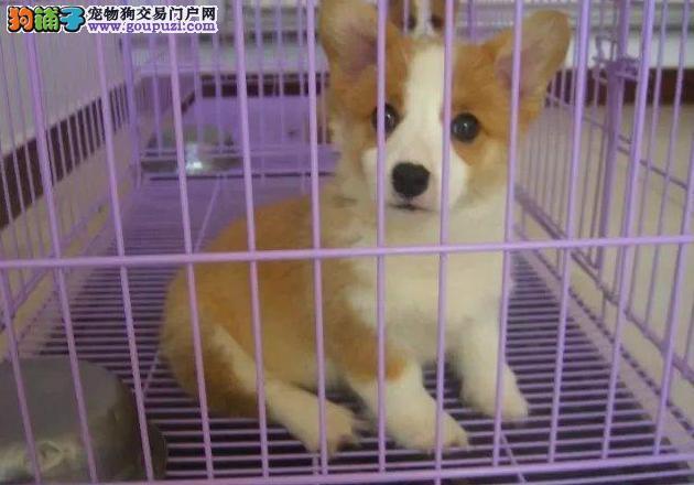 柯基犬幼犬出售、纯种威尔士柯基犬繁殖保健康纯种