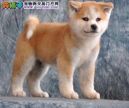 狗舍促销赛级品质秋田犬毛色亮丽签合同