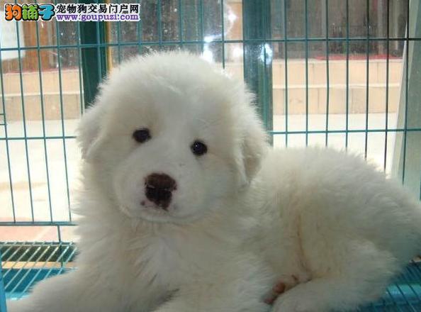 纯种血统健康体魄的大白熊 绝对拉风