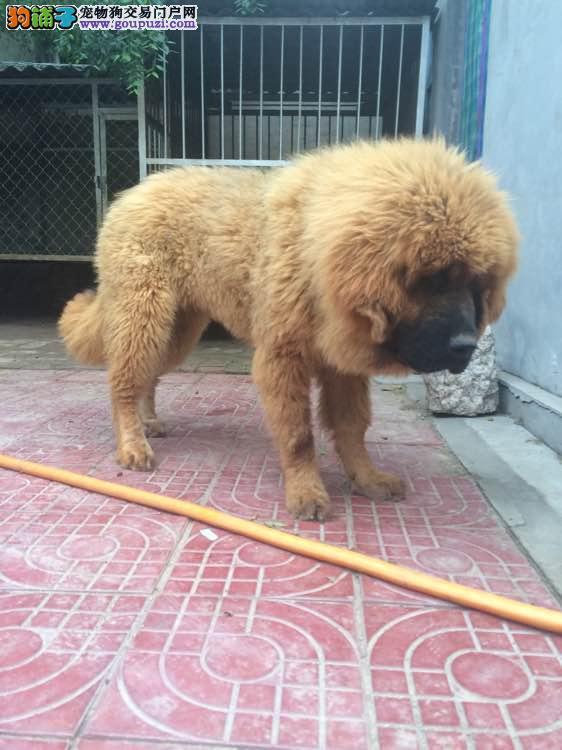 藏獒,著名的大型犬,对主人却格外的忠诚哦。