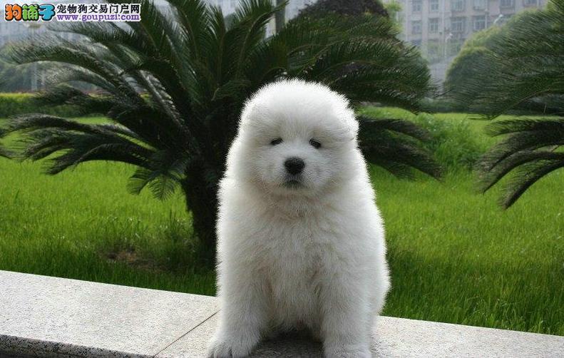 微笑天使 熊版萨摩耶 雪橇犬 萌宠狗狗 雪白雪白的哦。