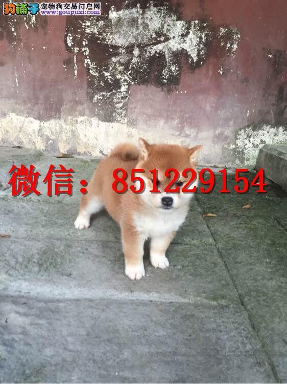 郑州哪里卖柴犬 纯种柴犬多少钱 赛级日系柴犬犬舍