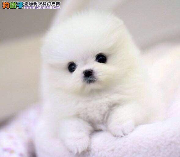 纯种,球体博美幼犬 肩高不超18厘米不超过3斤