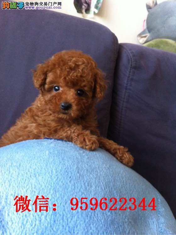 大连哪里卖泰迪犬玩具泰迪多少钱泰迪幼犬泰迪价格