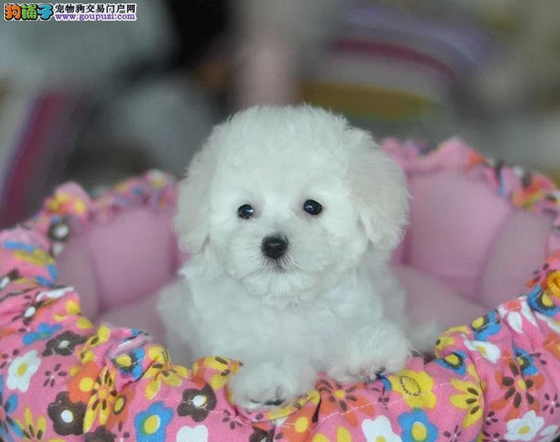 出售泰迪幼犬 超小卡哇伊泰迪犬,包纯种签协议可上门