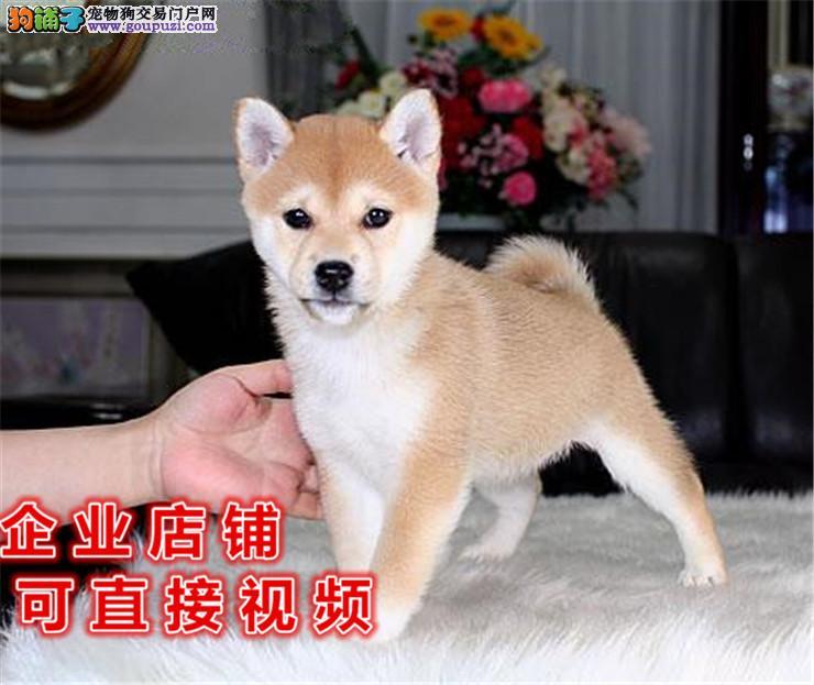各种品相的柴犬都有的/当天全款包邮/好狗价不低