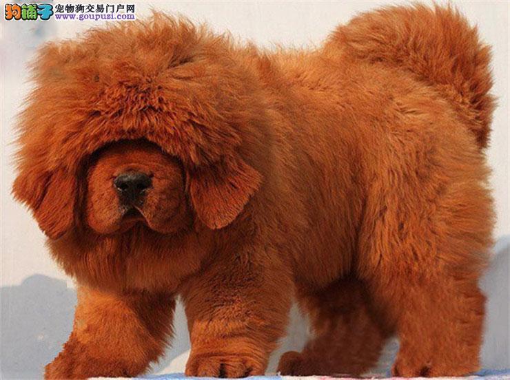 纯种藏獒价格 大狮头藏獒 铁包金藏獒 獒园低价直销
