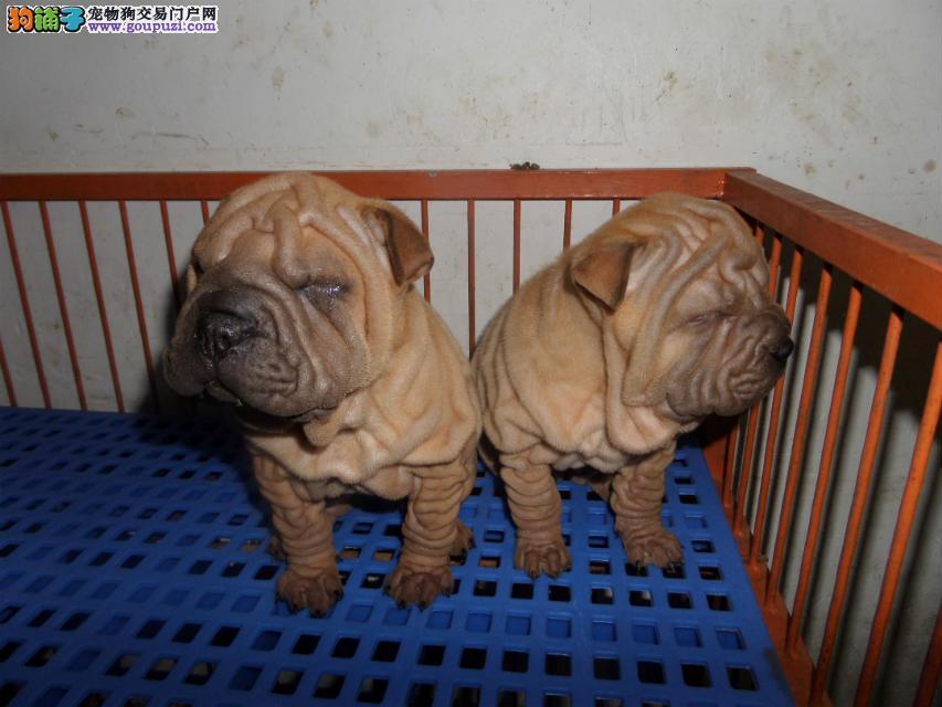 出售精品沙皮犬/包纯种·保健康·包养活/可送货上