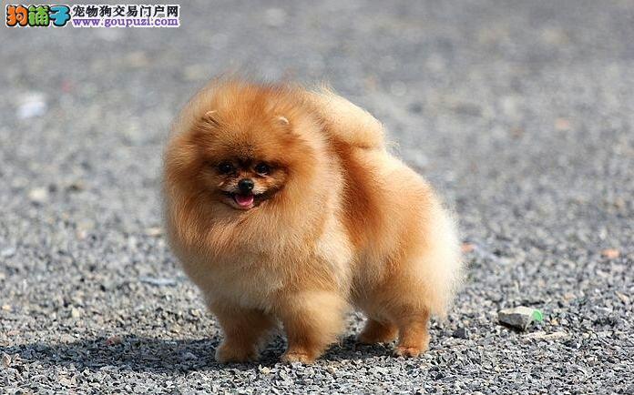 最受欢迎的博美宝贝我家狗场直销了 品质健康有保障