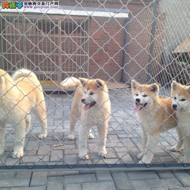 各种品相的秋田犬都有的/当天全款包邮/好狗价不低