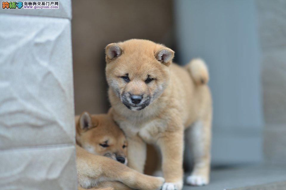 出售精品柴犬、包纯种·保健康、带证书,可上门