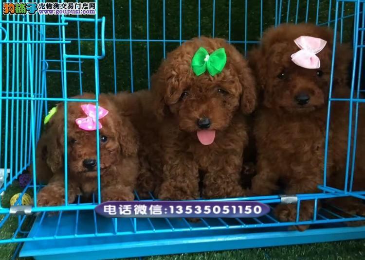 在东莞哪里买贵宾犬比较健康 东莞哪里有卖贵宾