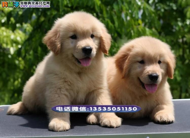 专业出售纯种金毛,买卖金毛犬
