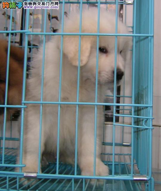 云南地区纯种大白熊犬多少钱 云南哪里有大型犬场