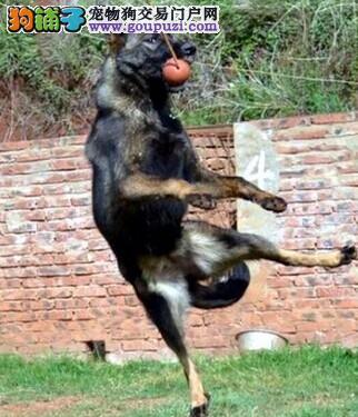 云南哪里的犬舍比较好 云南大型犬场 犬舍