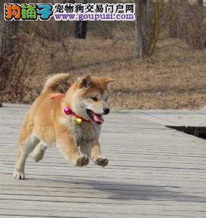 迪庆哪里卖纯种柴犬 云南地区纯种柴犬多少钱
